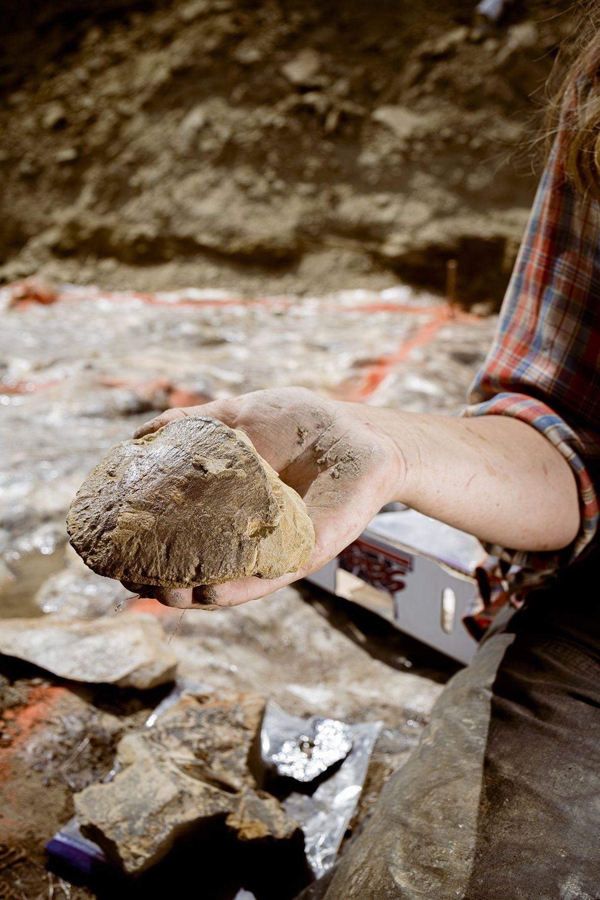 Die Zehenendglieder von Edmontosaurus sind besonders charakteristisch und im Gelände leicht zu erkennen. Findet man diese ...