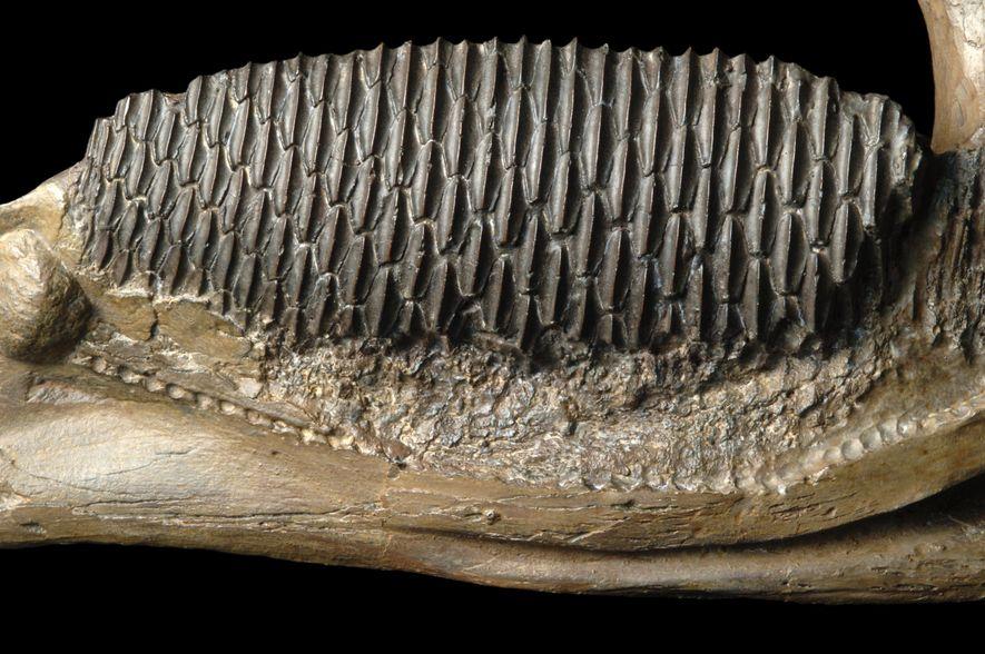 Hier abgebildet ist ein Abguss der Innenseite eines rechten Edmontosaurus-Unterkiefers. Am unteren Ende ziehen sich die ...