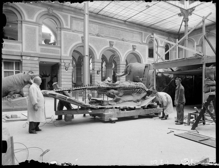 Die Edmontosaurus-Mumie wird während des Zweiten Weltkriegs mit Sandsäcken vor Luftangriffen geschützt.