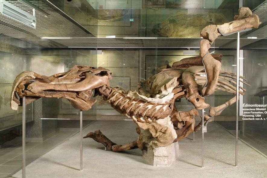Senckenberg Edmontosaurus