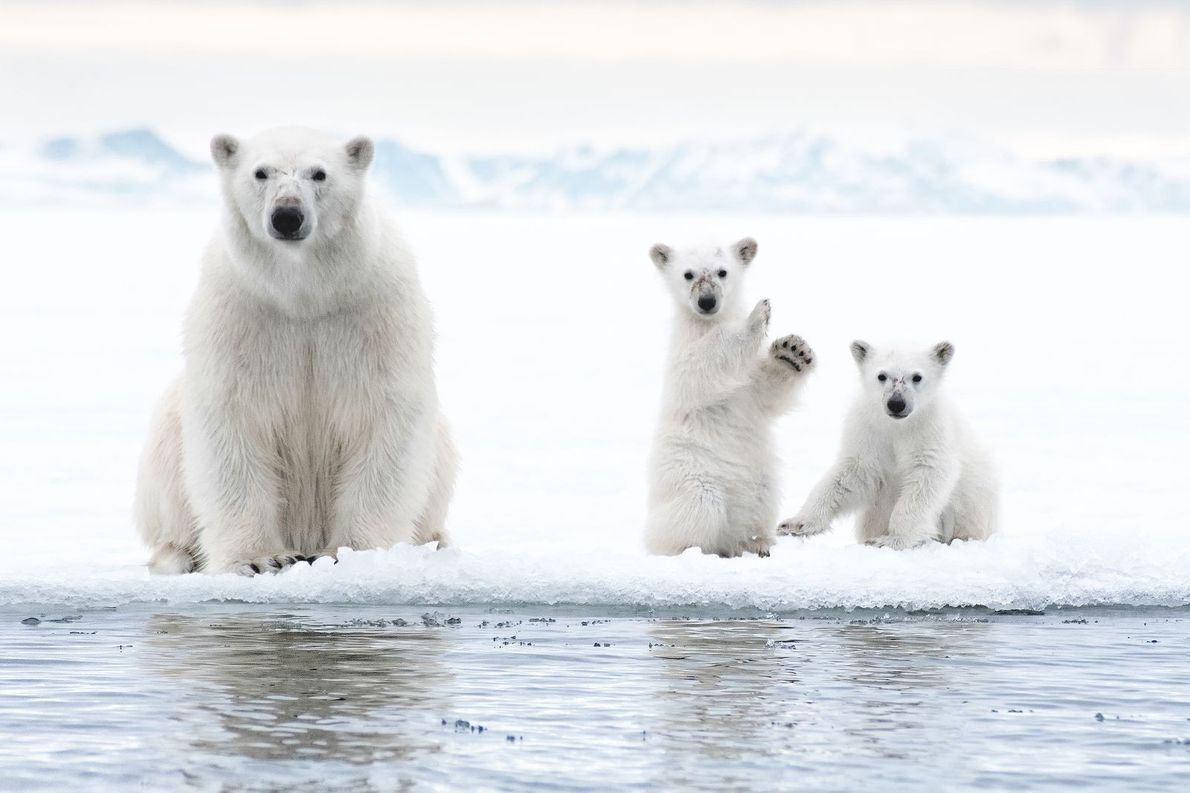 Eisbären | Das Foto einer Eisbärenmutter und ihrer zwei Jungen entstand nach einem Nachmittag des Fährtenlesens. ...