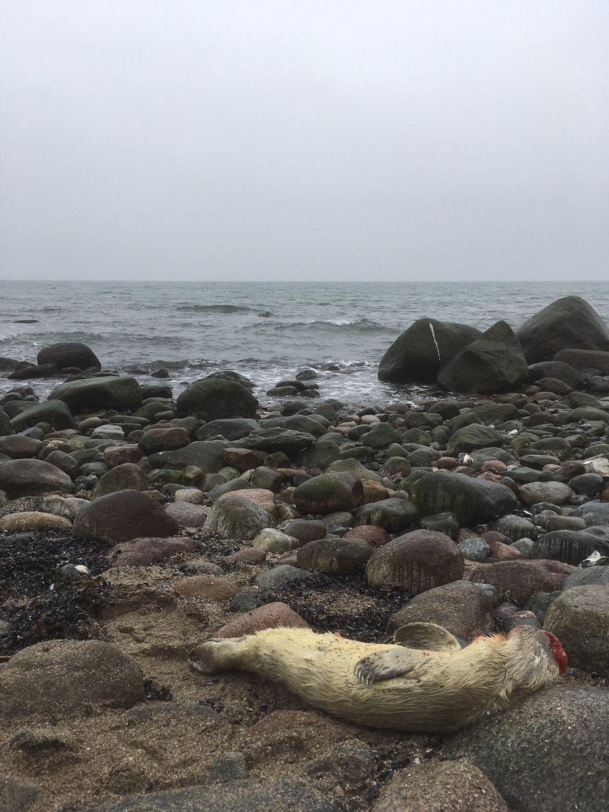 Mit einem Fund am Kap Arkona auf Rügen wurde 2018 die erste Kegelrobbengeburt an der deutschen Ostsee seit mehr als 100 Jahren nachgewiesen.