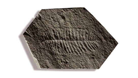 Fractofusus misrai