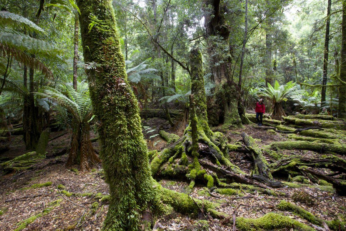 Entdeckt Tarkine im Nordwesten Tasmaniens.