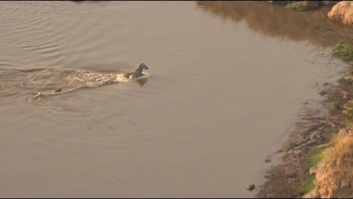Zebra entkommt knapp einem Krokodil - und gerät ins Visier eines Löwen