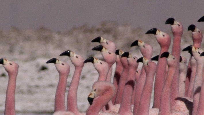 Die Versammlung der Flamingos.