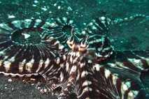 FO_TOS_17041_mimic_octopus_DE~~~~~de~mux~~1.JPG
