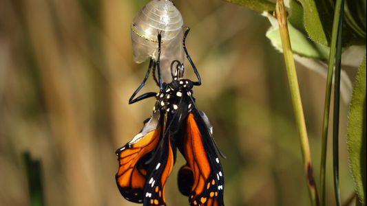 Monarchfalter: Vom Ei zum Schmetterling