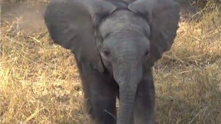 Kleiner Elefant droht der Kamera