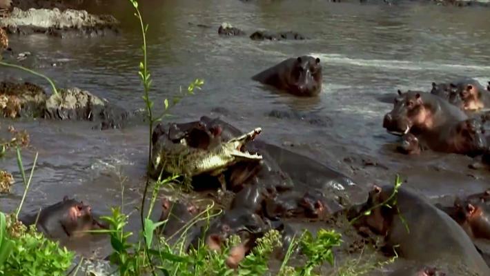Flusspferde vertreiben Krokodil