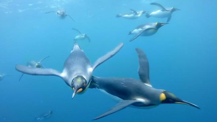 Schwimmen mit Königspinguinen