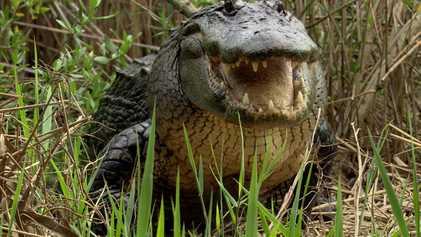 Aus dem Leben eines Alligators