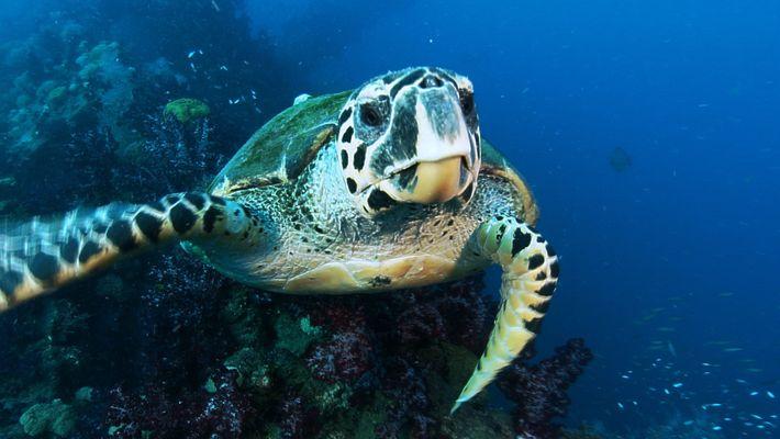 Die Reise der Echten Karettschildkröte