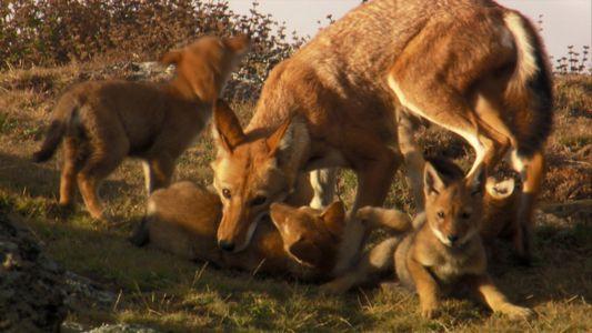 Äthiopische Wölfe