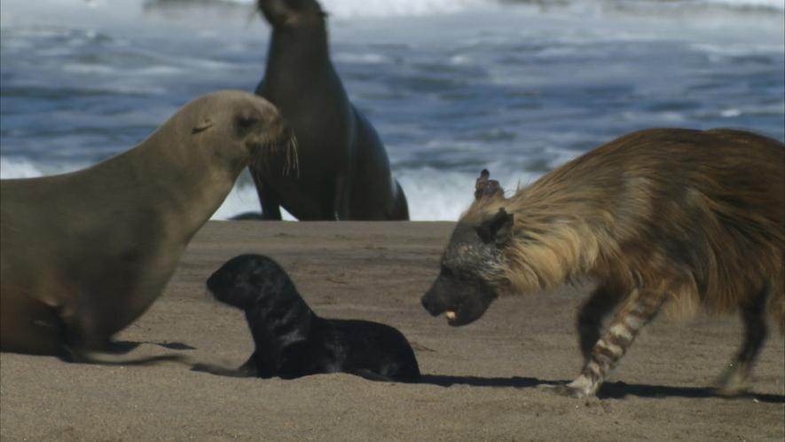 Seebären-Welpen führen gefährliches Leben