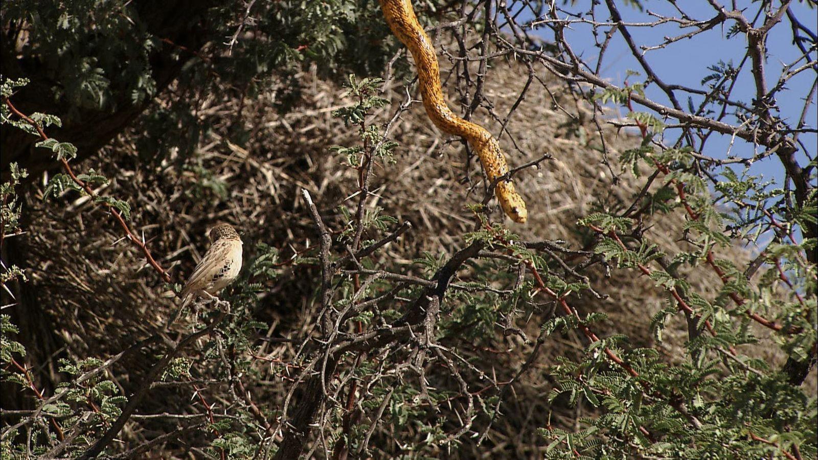 Schlangenbesuch im Vogelnest