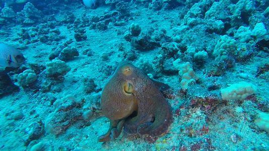 """""""Leuchtender"""" Oktopus"""