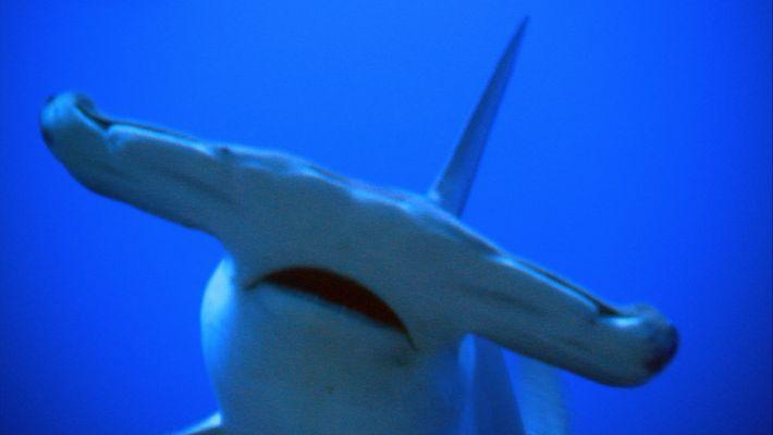 Hammerhai: Kopf mit Superkräften