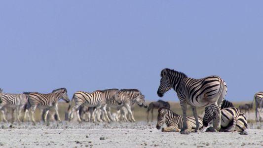Um diesen Ort zu erreichen, riskieren Zebras jedes Jahr ihr Leben