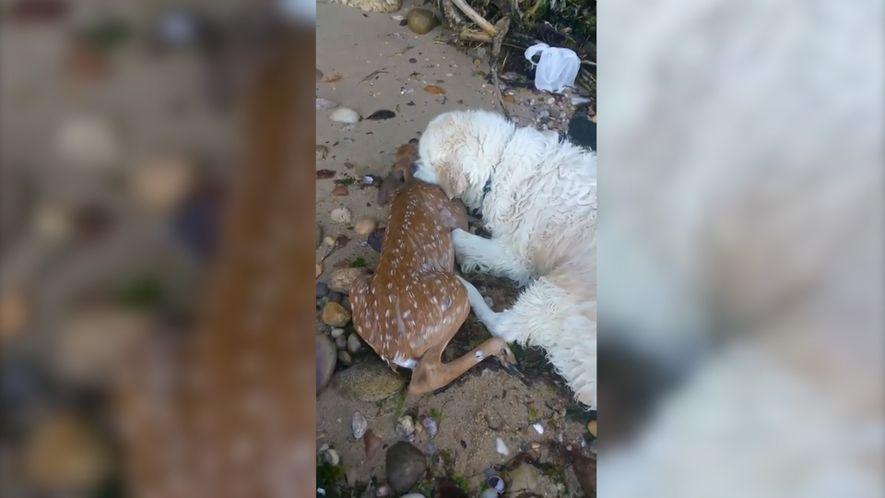 Golden Retriever zieht Hirschkalb aus Wasser