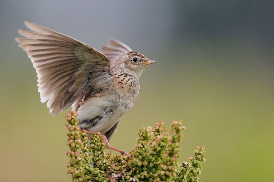 Singvögel: Wird es still in Deutschland?