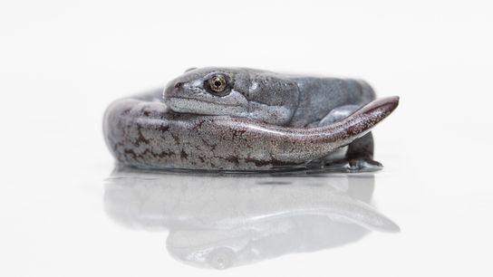 Female-Self-Cloning-Salamanders