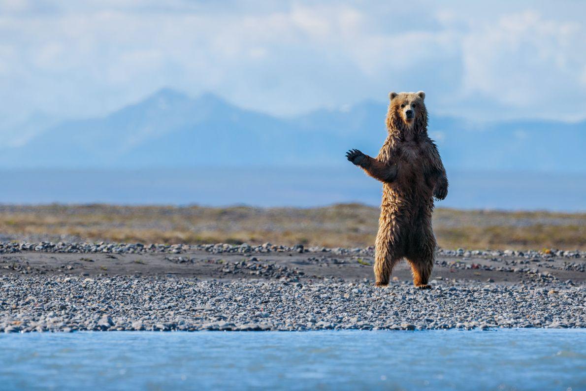 Alle Bärenarten Nordamerikas leben im Schutzgebiet: Schwarzbär, Eisbär und Grizzly. Als Florian Schulz am Canning River ...