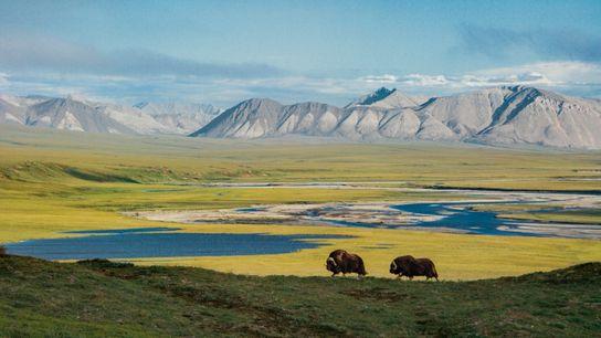 Alaska Moschusochsen