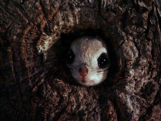 Gleithörnchen: Des Nachts von Baum zu Baum