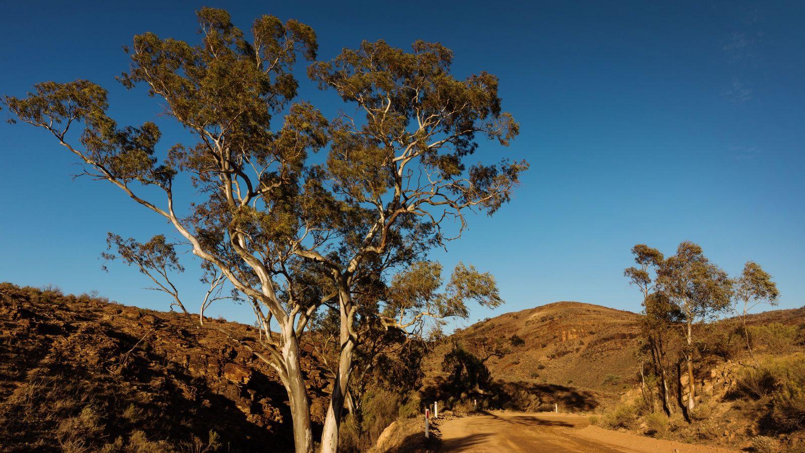 Eukalyptusbäume spenden ein wenig Schatten an der Parachilna Gorge.