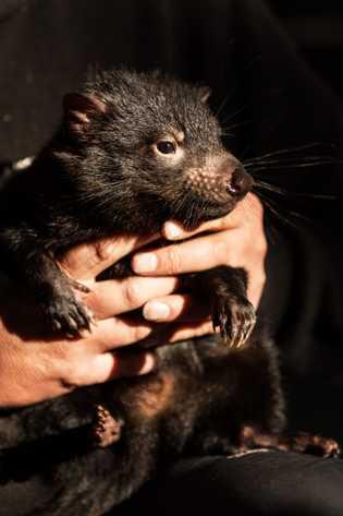Der Tasmanische Teufel steht symbolisch für die Natur der Insel.