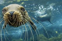 Seelöwen vor der Isla Santa Cruz