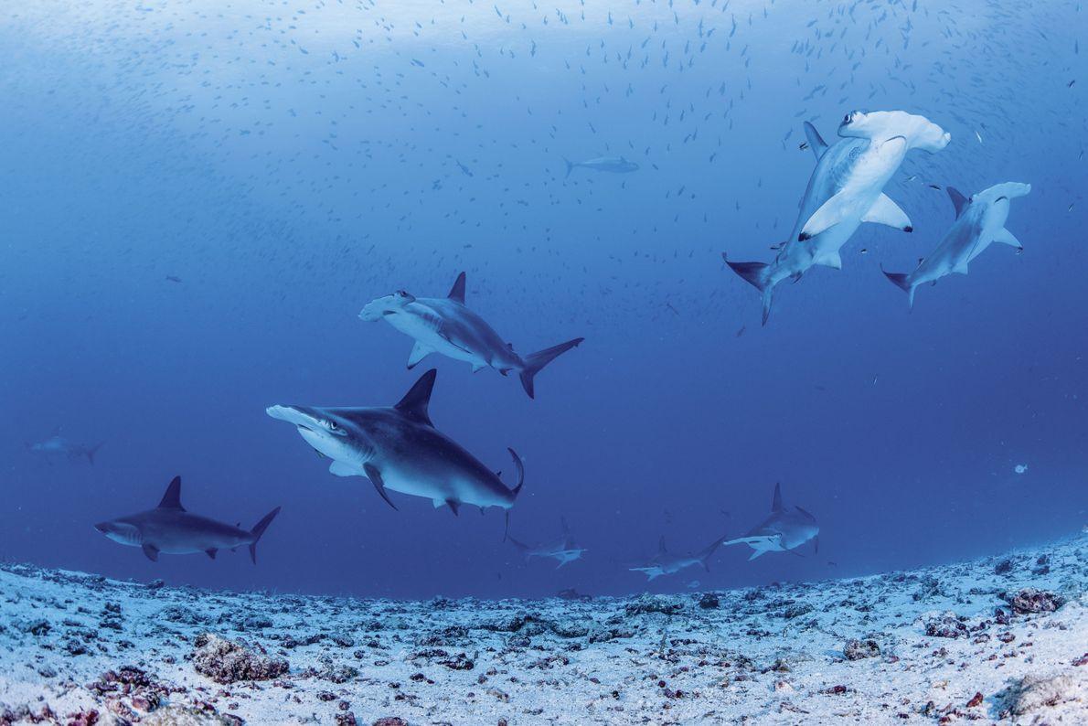 Hammerhaie vor der Isla Darwin