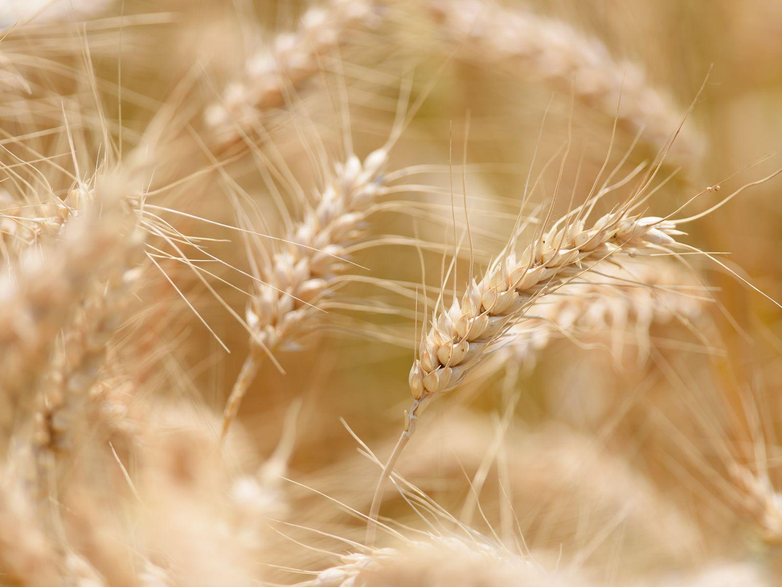 Weizenfeld für Wasserschutzbrot