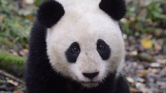 Ein neues Video ist Beweis für den Erfolg bei der Auswilderung von Pandas
