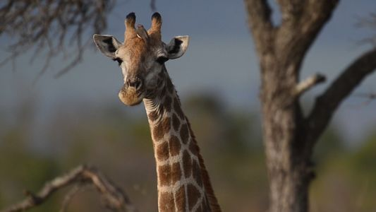 Wissen kompakt: Giraffen