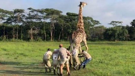 Giraffen-Rettungsmission