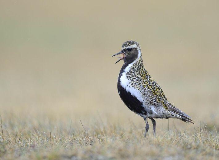 Intakte Moore sind sein wichtigster Lebensraum: Der Goldregenpfeifer ist inzwischen als Brutvogel aus Deutschland verschwunden.