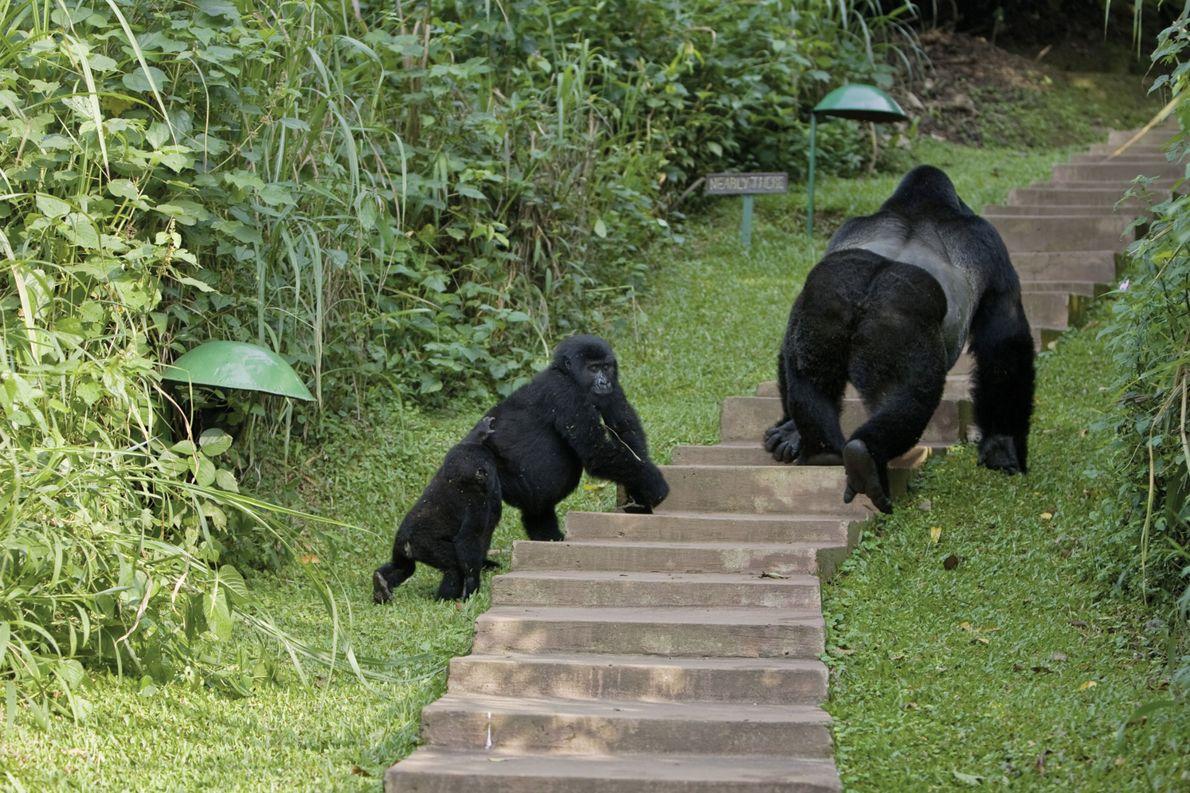 Gorillafamilie im Bwindi-Impenetrable-Nationalpark