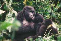 Berggorilla-Mutter mit Kinder
