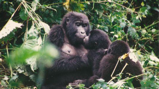"""""""Schon die erste Begegnung mit den Gorillas hat mich begeistert"""""""
