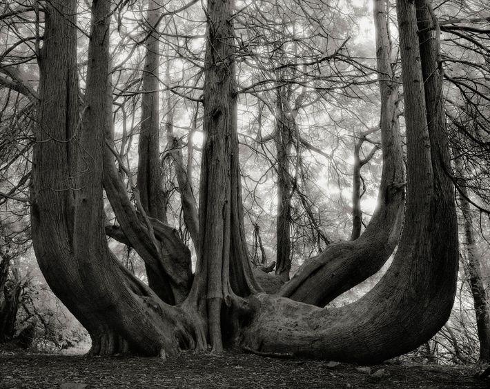 Riesen-Lebensbaum im Gelli Aur-Park