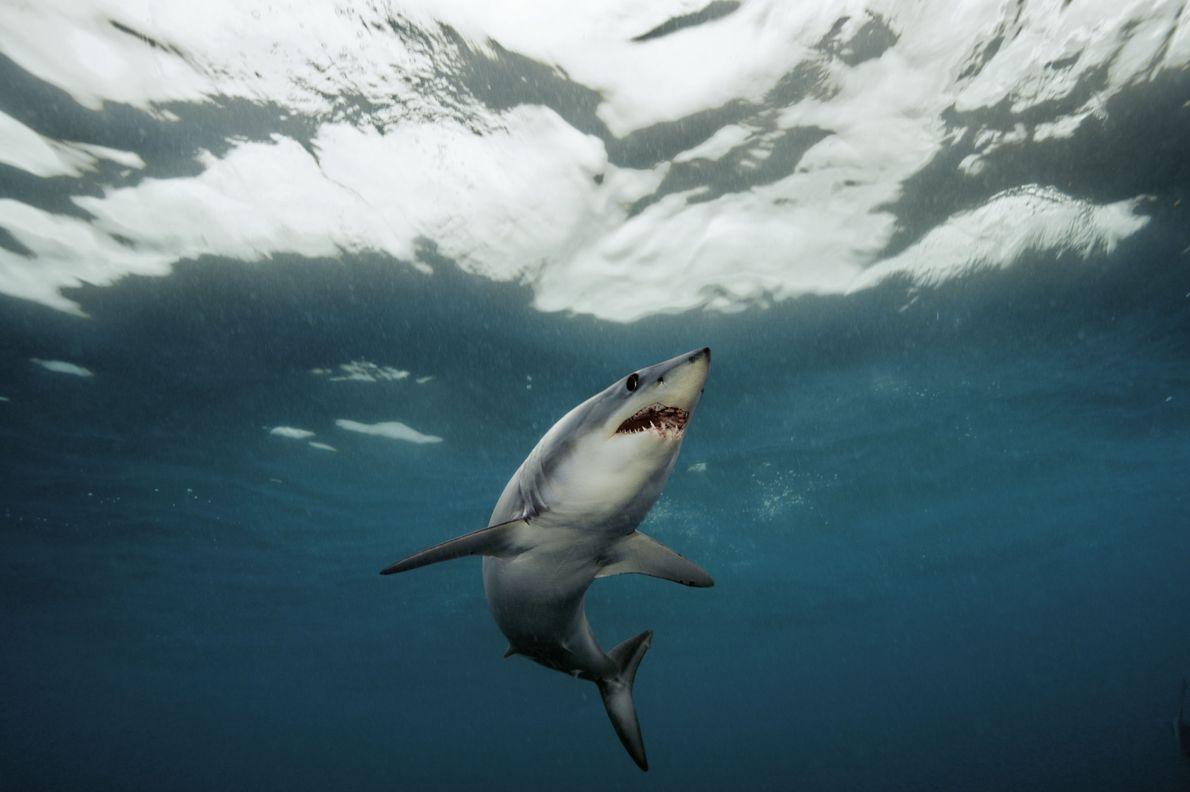 Kurzflossen-Makohai