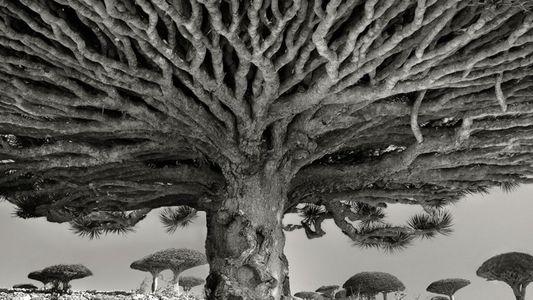 Diese alten Bäume erzählen Geschichten