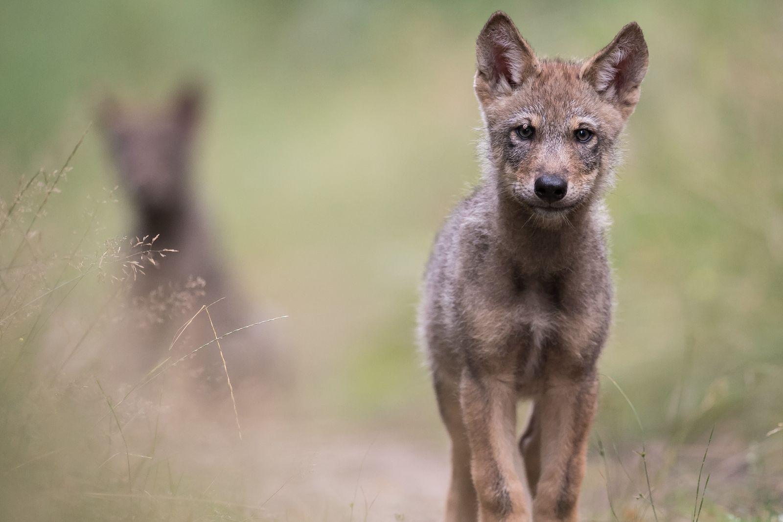 Wolfswelpe in Brandenburg: Die brütende Sommerhitze macht auch Wildtieren zu schaffen.