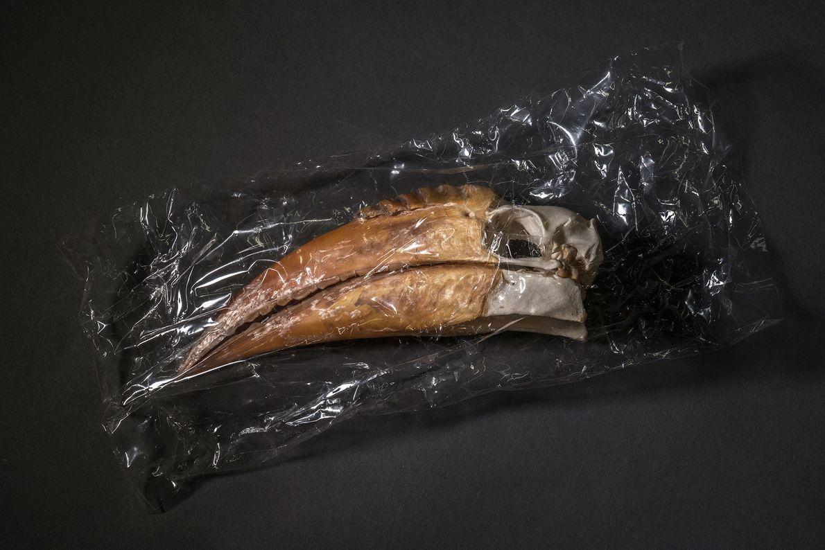 Nashornvogelkopf