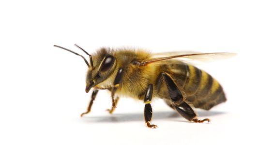 Woher kennen Honigbienen ihre Aufgaben?