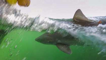 Haie in der Nordsee: Forscher wollen rätselhaftes Verhalten ergründen