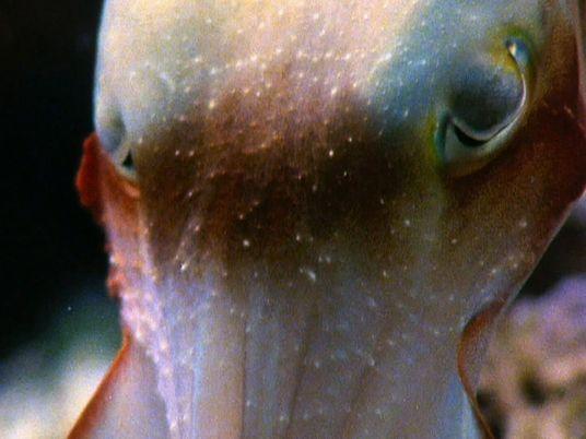 Tintenfisch hypnotisiert seine Beute