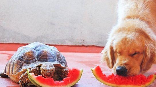 Larry die gerettete Schildkröte genießt ein Stück Wassermelone mit seinem Hundekumpel Cricket.
